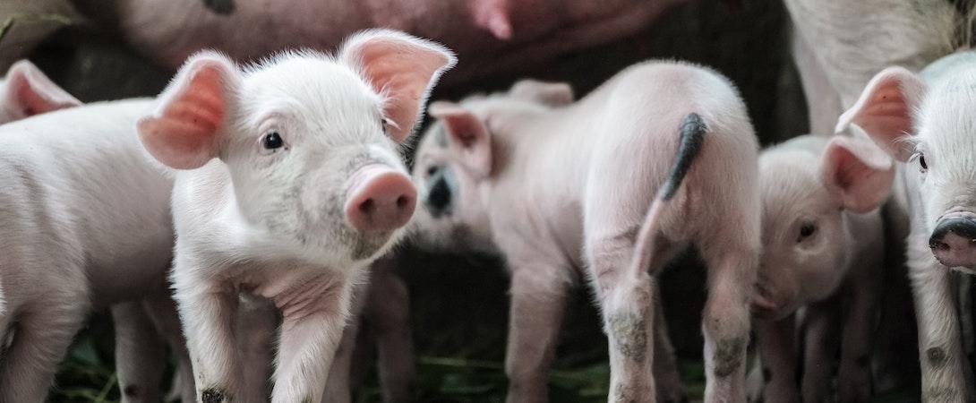 Cerdos bebés con su madre